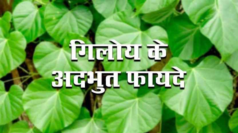 गिलोय प्लांट के फायदे, घनवाटि और जूस (Giloy Benefits In Hindi)