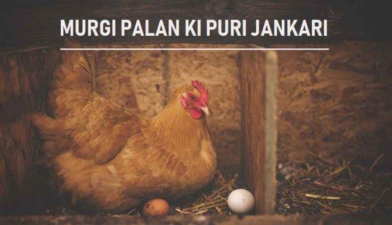 मुर्गी पालन शुरू करने से बेचने तक की पूरी जानकारी Poultry Farming Business