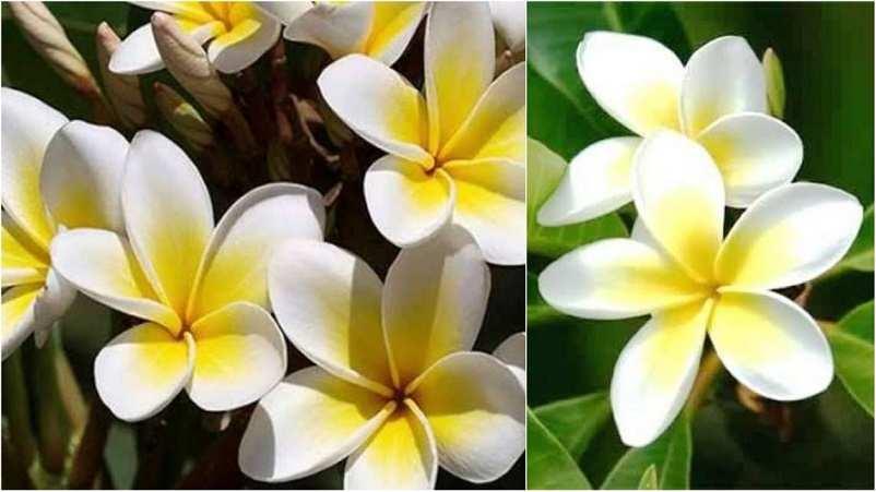 केतकी का फूल कैसा होता है Ketki Images