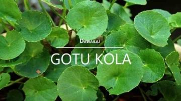 गोटू कोला क्या है, फायदे, उपयोग Gotu Kola In Hindi